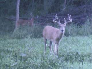 Trophy Whitetail Deer in Food Plot